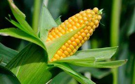 Выращивание урожая сахарной кукурузы в открытом грунте